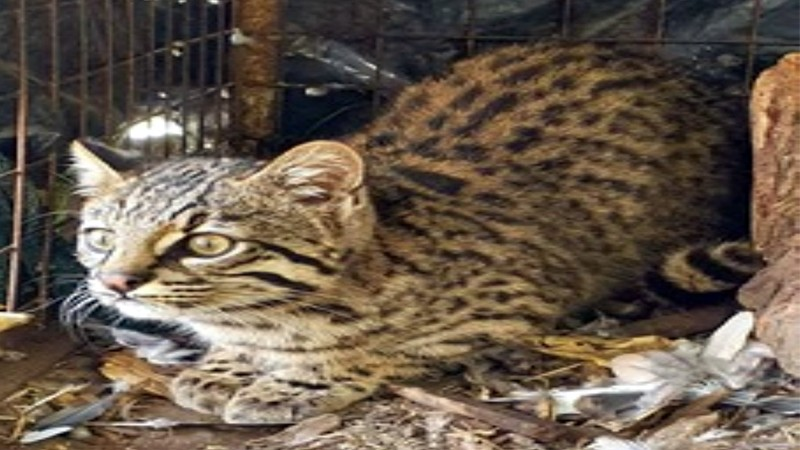Liberan un gato montés en la Reserva Provincial Natural Protegida de la Escuela Alberdi